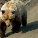 Alaska-Brown-Bear
